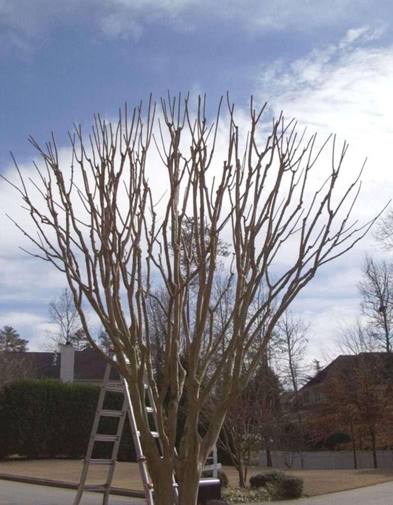 Crape Myrtle Pruning 1