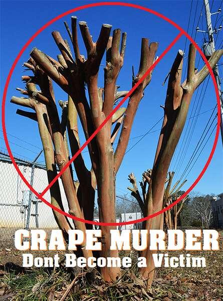Crape Myrtle Pruning 4